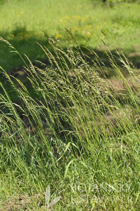 ovsík vyvýšený (Arrhenatherum elatius)