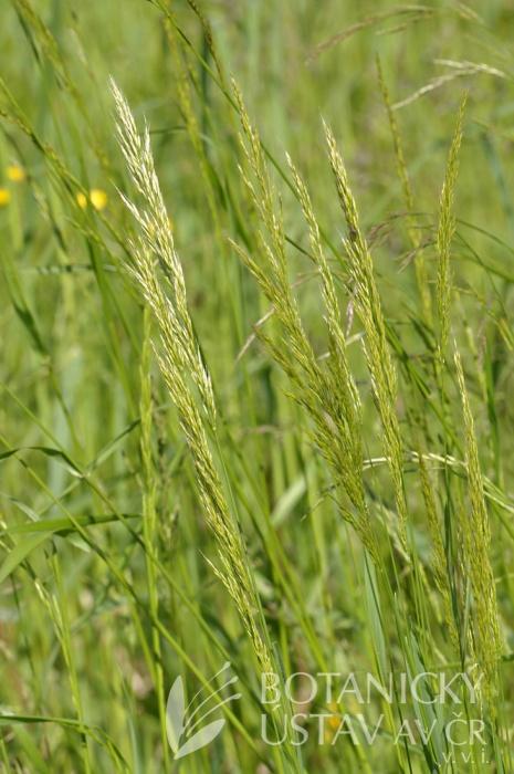 trojštět žlutavý (Trisetum flavescens)