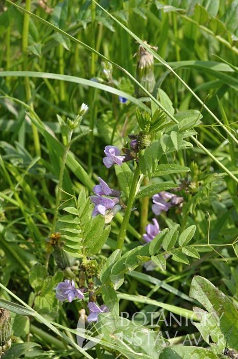 vikev plotní (Vicia sepium)