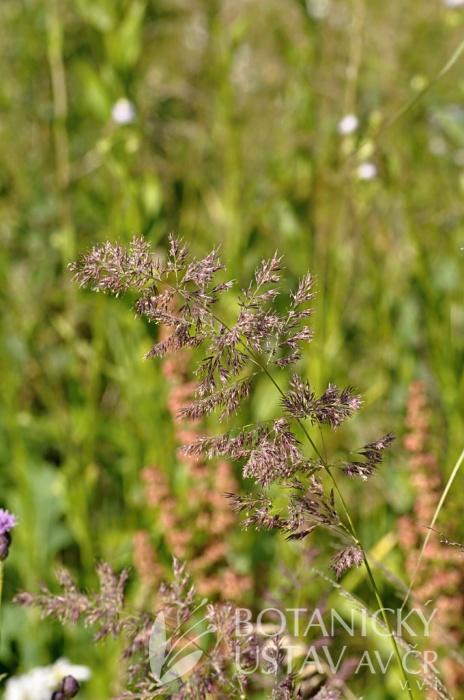 třtina křovištní (Calamagrostis epigejos)