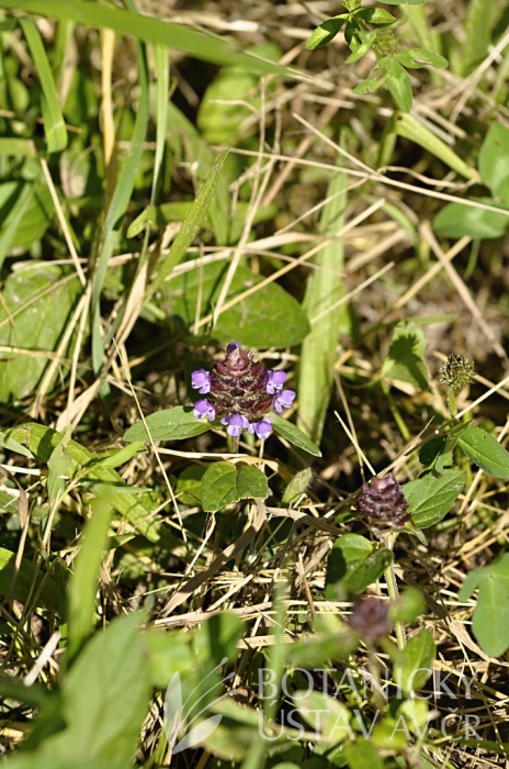 černohlávek obecný (Prunella vulgaris)