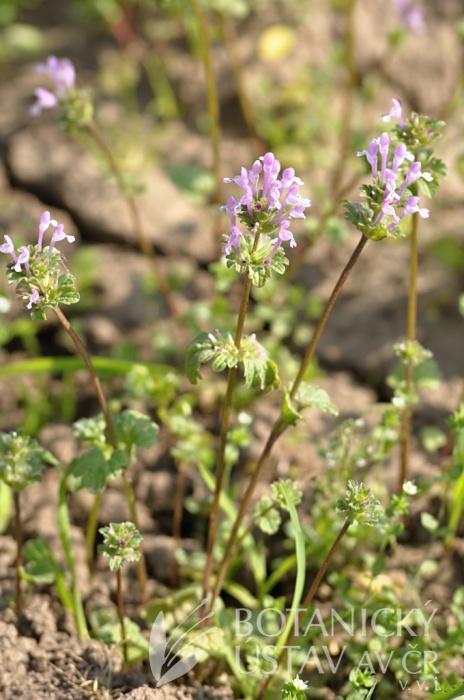 hluchavka objímavá (Lamium amplexicaule)