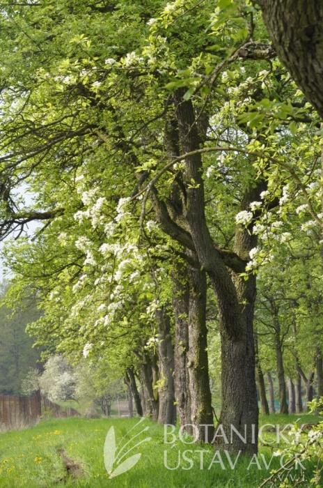 Pomologické arboretum - hrušně, 2013