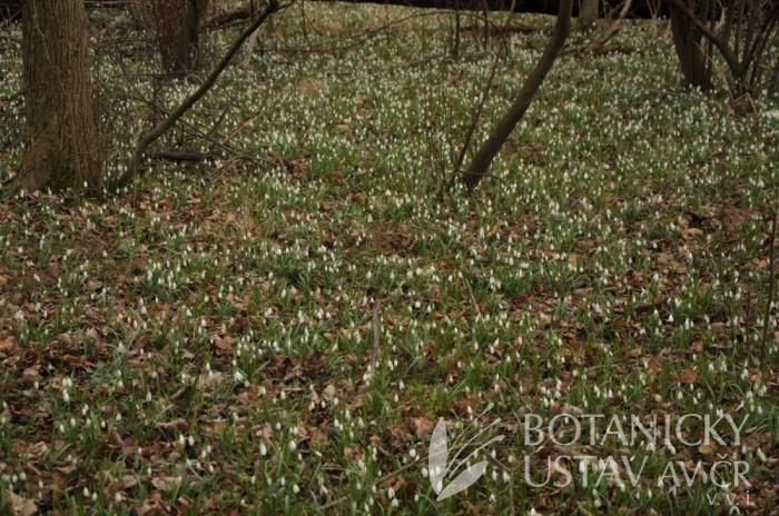 Galanthus nivalis, Litovelské Pomoraví, 2020