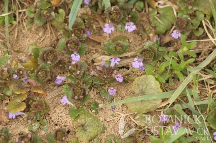 popenec obecný (Glechoma hederacea)