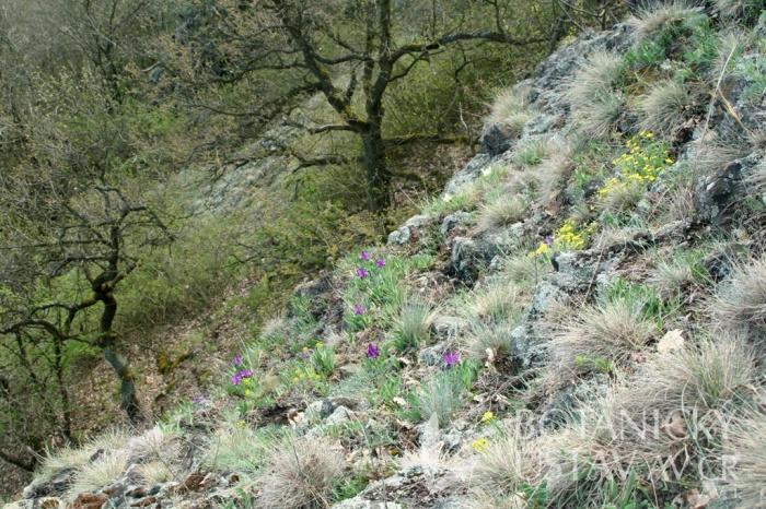 Otázka původnosti I. pumila na Řípu: samo místo odpovídá podmínkám v biotopech obývaných tímto druhem. Přítomnost jednoznačně vysazených tulipánů na tomto významném kulturním místě však prozrazuje, že i nepůvodní druhy mohou na vhodné lokalitě zdomácnět.