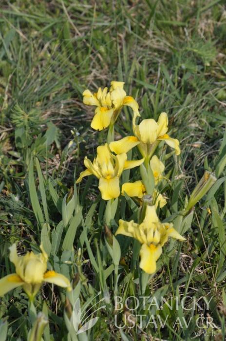 Iris arenaria,   hřbitovní kopec u Kunadacs, Maďarsko (2)
