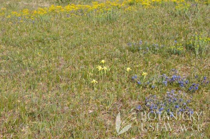 Iris arenaria,   hřbitovní kopec u Kunadacs, Maďarsko(4)