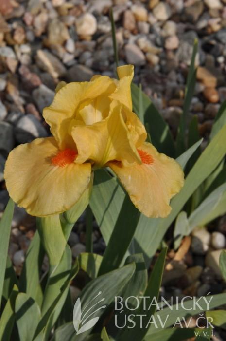 Iris Bright Chic