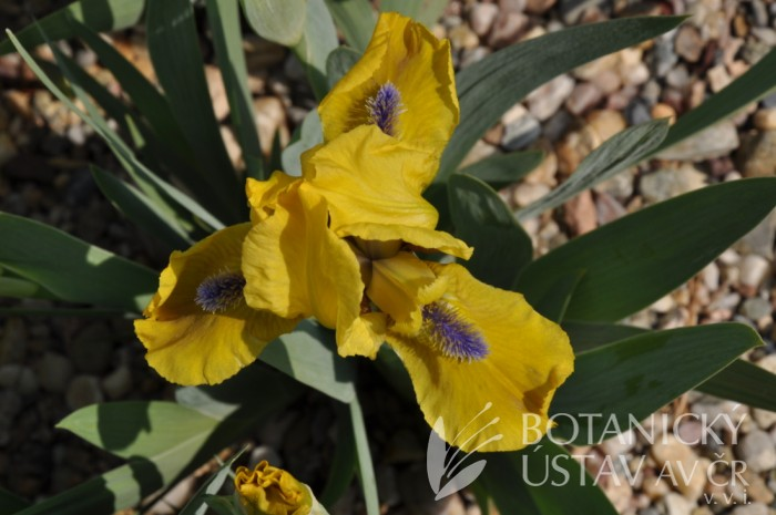 Iris Galeon Gold