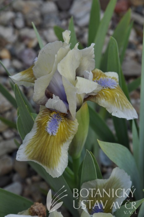 Iris Green Meteor