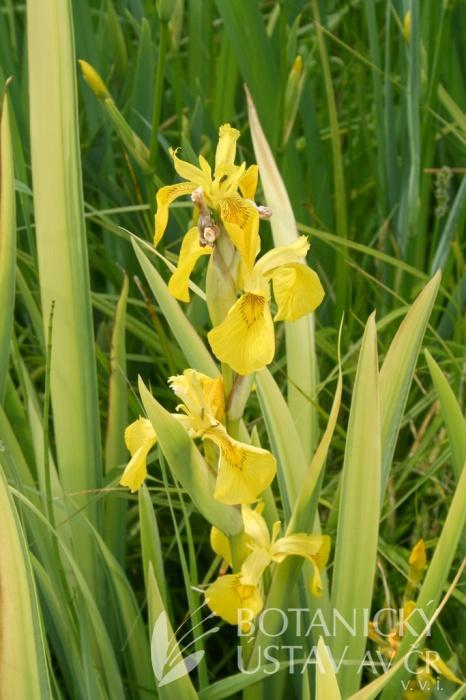 Iris pseudacorus Variegatus