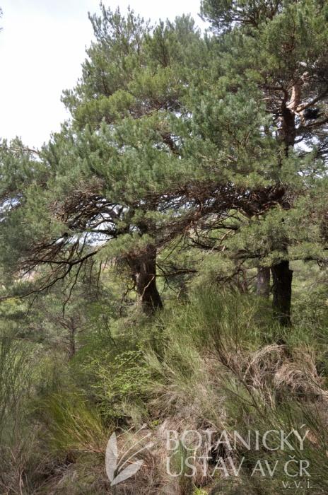 Lokalita Paeonia coriacea, Sierra Nevada