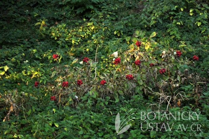 lokalita Paeonia mascula, Francie (1)