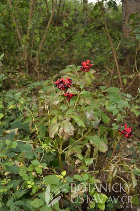 lokalita Paeonia mascula, Francie (2)