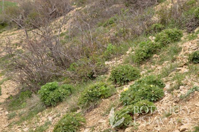 lokalita Paeonia wendelboi, Írán (2)