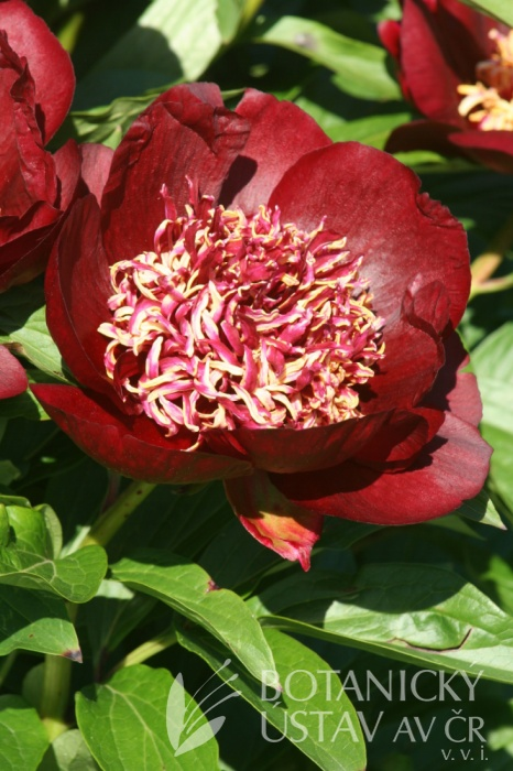 Paeonia Chocolate Soldier