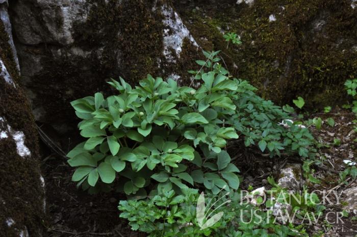 Paeonia coriacea, Torcal de Antequera