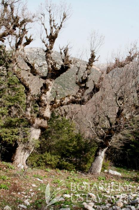 lokalita Paeonia kesrouanensis, Jabal an Nusayriah, Sýrie