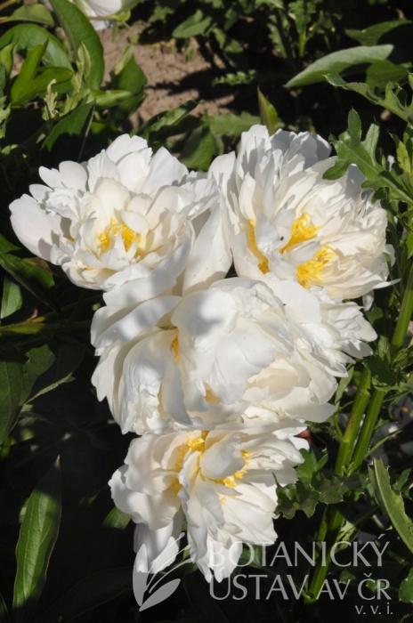 Paeonia lactiflora CH11