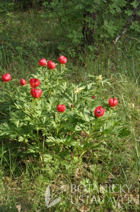 Paeonia peregrina, Babadag, Rumunsko