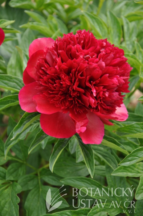 Paeonia Red Charm (41)