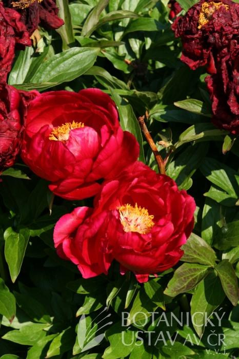 Paeonia Rosedale