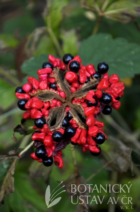 plodící Paeonia mascula