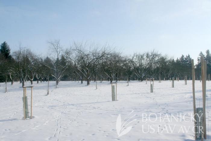 Pomologické arboretum v zimě