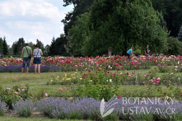 Průhonická botanická zahrada - expozice růží 2017