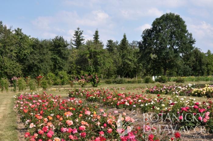 Průhonická botanická zahrada - expozice růží 2018