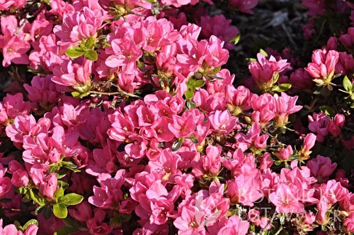 Rhododendron hybr. ´Myslík´