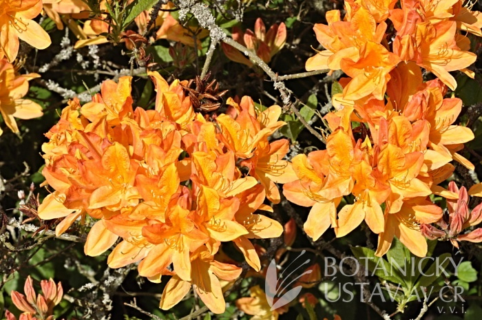 Rhododendron hybr. ´Nicolaas Beets´