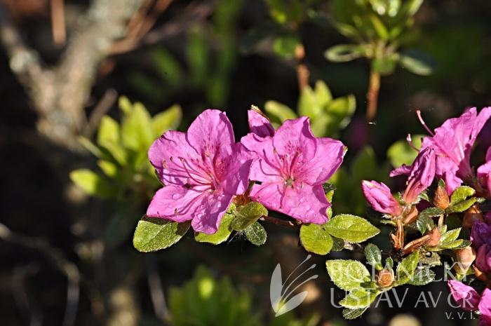 Rhododendron obtusum japonicum