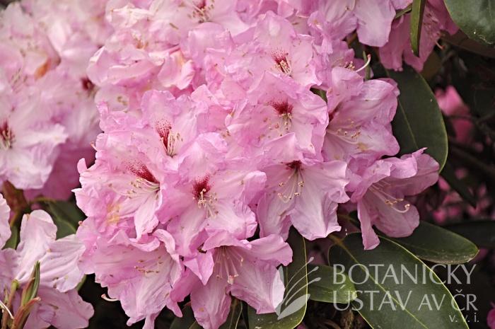 Rhododendron hybr. ´Panenka´