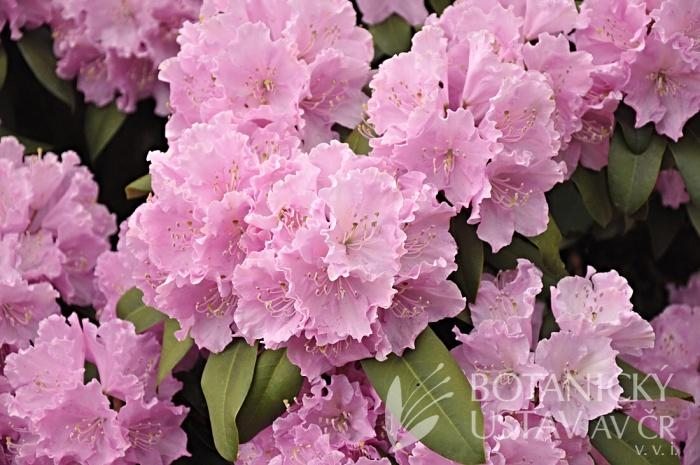 Rhododendron hybr. ´Petr´