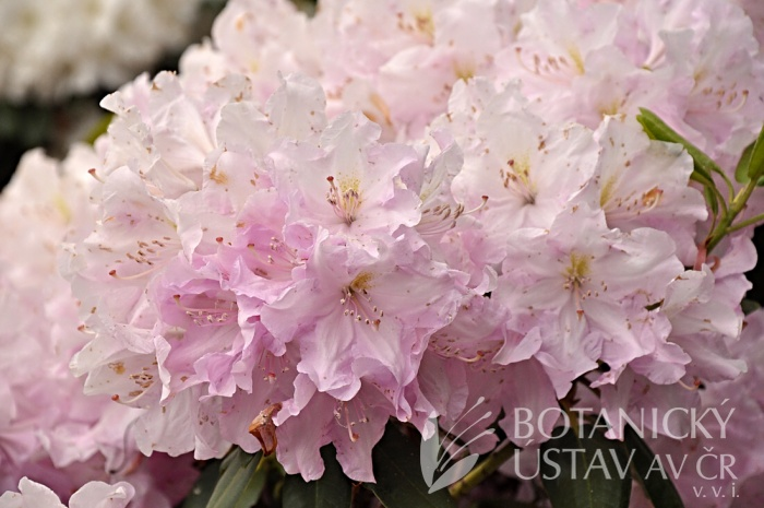 Rhododendron hybr. ´Rose Marie´