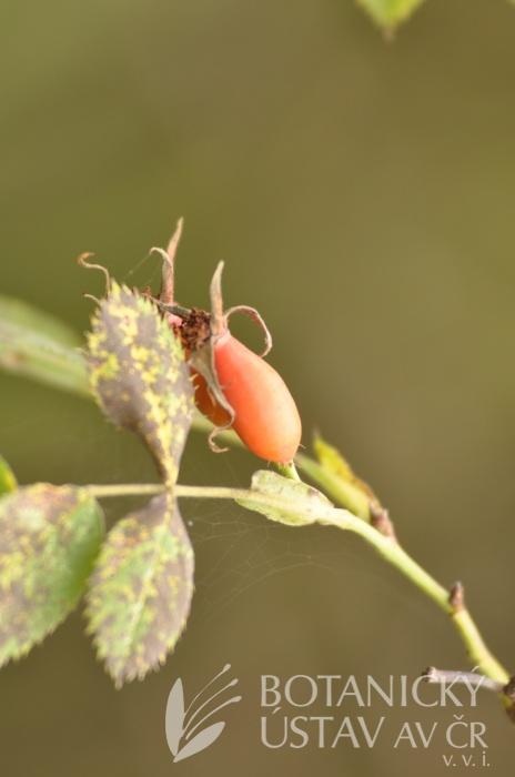 Rosa canina - subcolina x pendulina 7/9