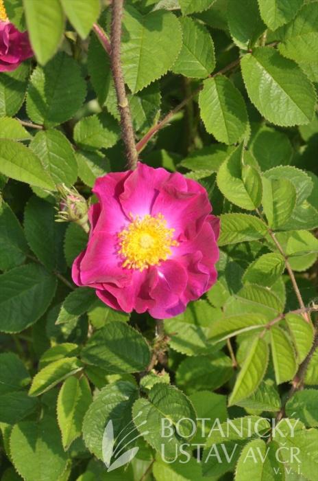 Rosa La Belle de Sultane