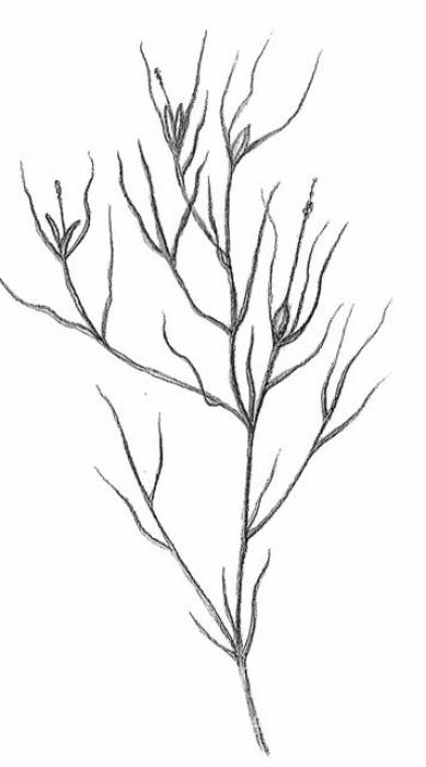 rdest vláskovitý