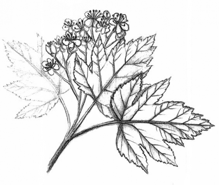 jeřáb břek (Sorbus torminalis)