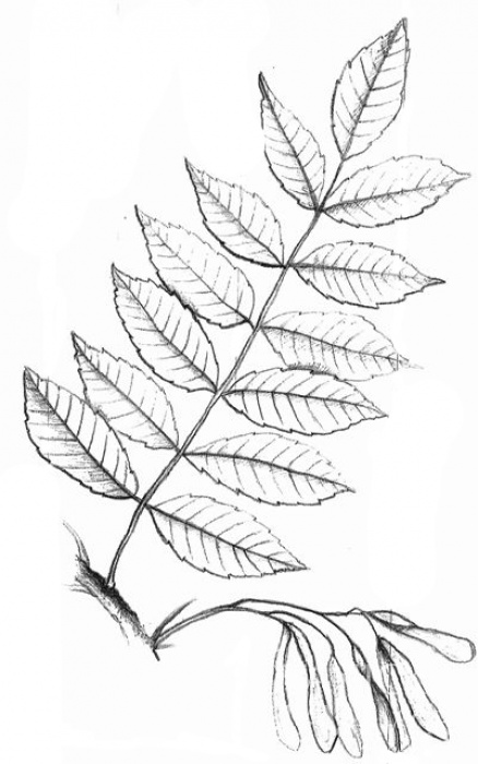 jasan ztepilý (Fraxinus excelsior)