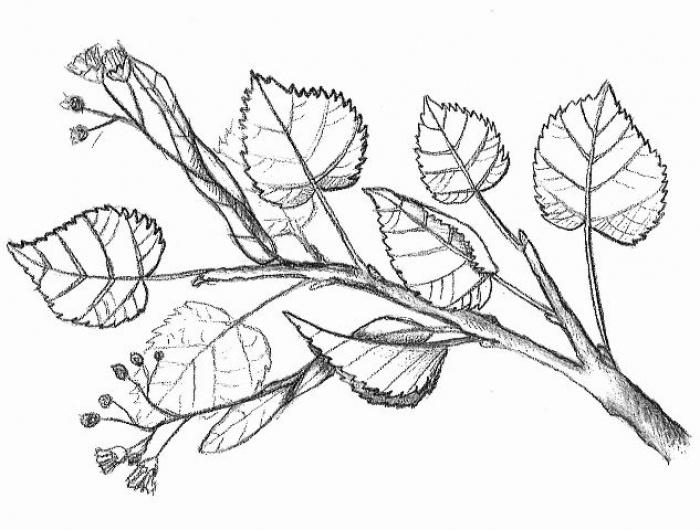 lípa srdčitá (Tilia cordata)