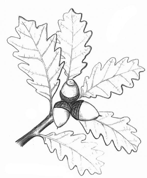 dub zimní (Quercus petraea)