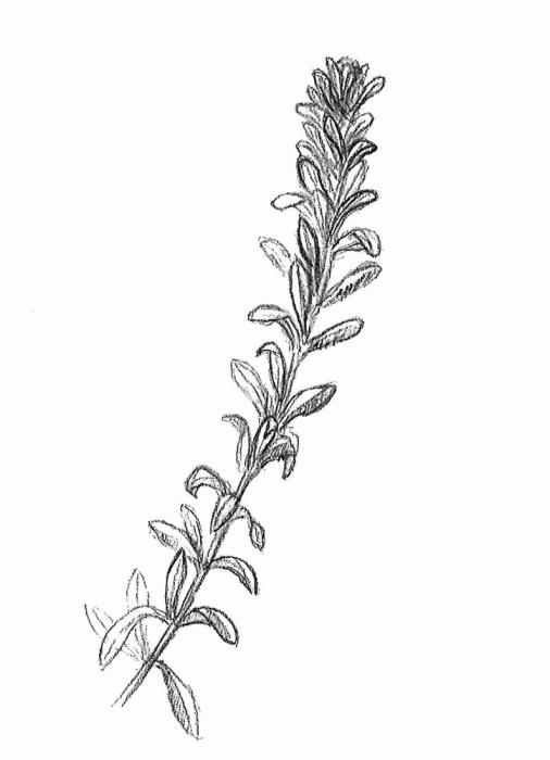 vodní mor kanadský (Elodea canadensis)