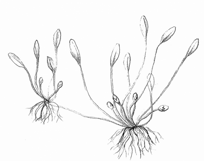 blatěnka vodní (Limosella aquatica)