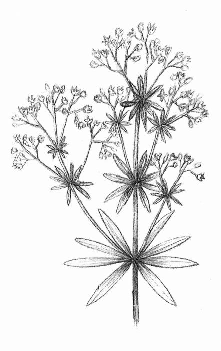 svízel nízký (Galium pumilum)