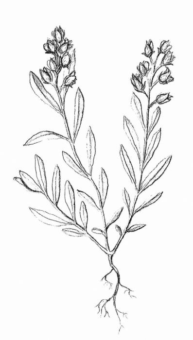 vítod ostrokřídlý (Polygala oxyptera)