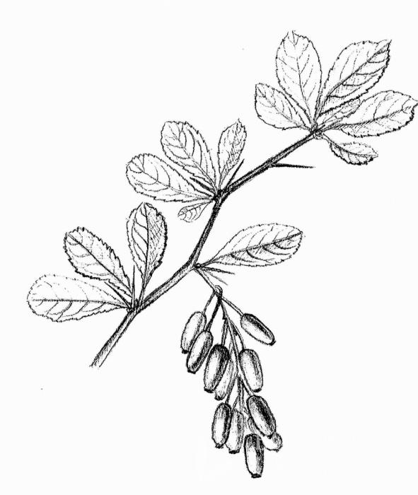 dříšťál obecný (Berberis vulgaris)