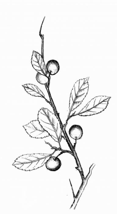 trnka obecná (Prunus spinosa)